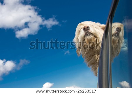 Romanian shepherd dog enjoying a ride with the car.