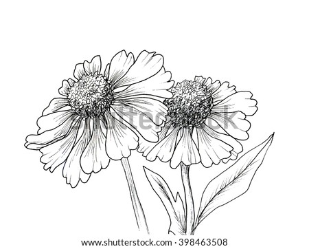 Romantic background with flowers echinaceas isolated on white. Hand drawn illustration. Ink drawing flowers. Contour pencil drawing. Hand drawn sketch. Drawn sketch of flowers. Doodles hand drawn.  - stock photo