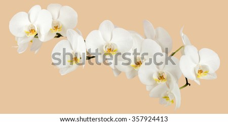 romantic branch of white orchid on beige background, studio shoot