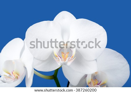 romantic branch of white orchid on blue background, studio shoot - stock photo