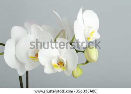 romantic branch of white orchid on grey background, studio shoot