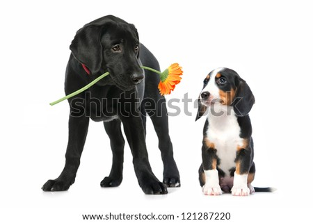 Romantic dog couple in  love. Isolated on white - stock photo