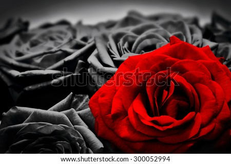Romantic greeting card of red rose against black and white roses. Valentines day, mothers day, anniversary flowers etc. - stock photo