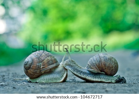 Romantic meet and kissing between of burgundy snail , Close-up outdoor