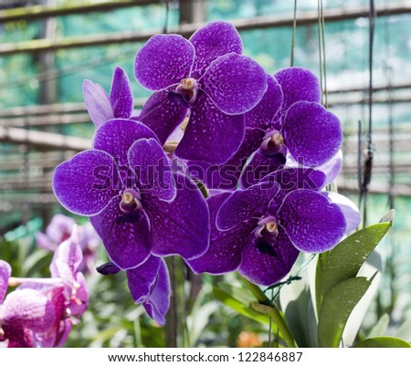 Romantic purple orchid in the garden of the north of Thailand.