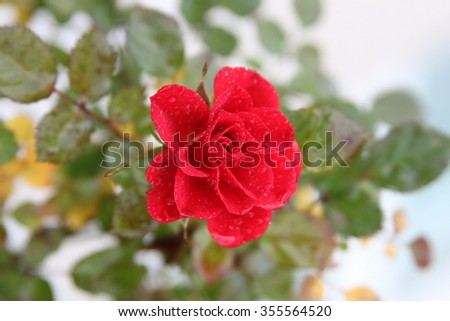 Romantic single wild red rose with leafs