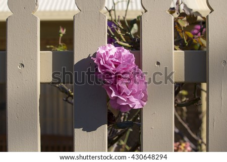 Romantic spectacular Angel Face ,  mauve  double  floribunda  roses   blooming in early winter  adding delightful fragrance and color to the garden landscape   are a  delight  to behold. - stock photo