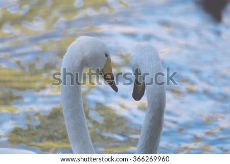 romantic two swans, symbol of love - stock photo