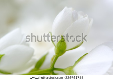 Romantic White Jasmine Flowers Close-Up