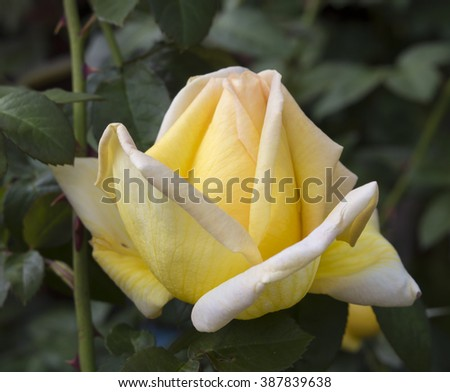 Romantic yellow  exhibition  hybrid tea rose  cultivar  Amatso Otome    blooming in late spring   adding fragrance and color to the garden is a world favourite with spicy fragrance and perfect form. - stock photo