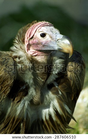 ROME, ITALY - FEBRUARY 18: Lappet-faced vulture in the zoo on February 18, 2003, Rome, Italy. Rome has one of the biggest zoo in the world