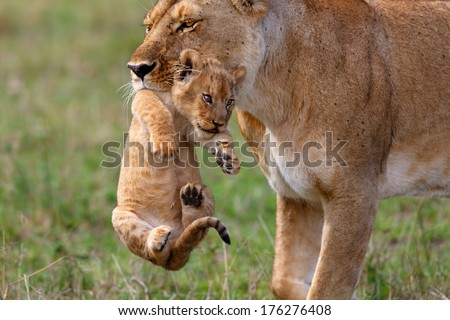 Rongai Pride Lioness mother carries her baby to another place, because some Buffalo bulls were very close in Masai Mara, Kenya - stock photo