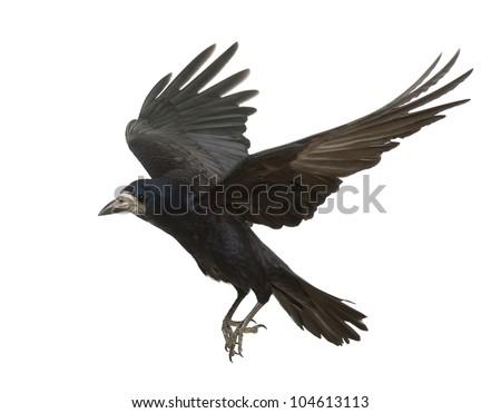 rook corvus frugilegus 3 years old flying against white background