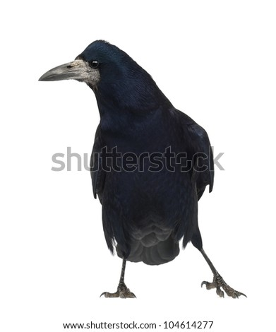 Rook, Corvus frugilegus, 3 years old, standing against white background