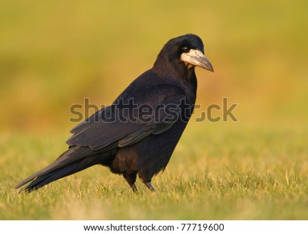 Rook in the field