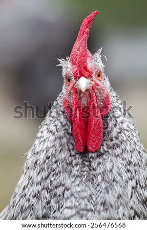 Rooster - stock photo