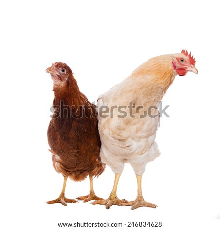 Rooster and chicken on the white background - stock photo