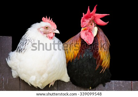 Rooster and hen couple sitting close together on black background - stock photo