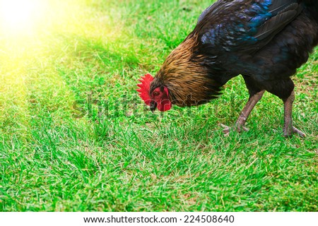 Rooster cock on green meadow at organic farm - stock photo