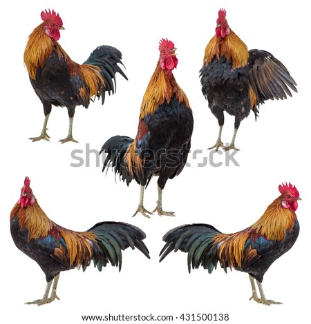 Rooster collection set isolated on white - stock photo