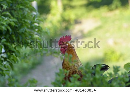 Rooster in a countryside farm - stock photo
