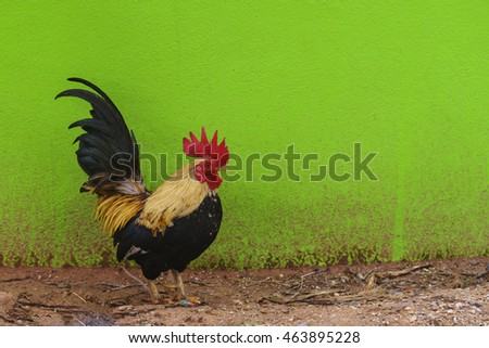 rooster in the green background