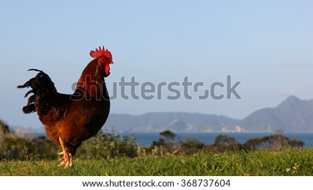 Rooster in the wild