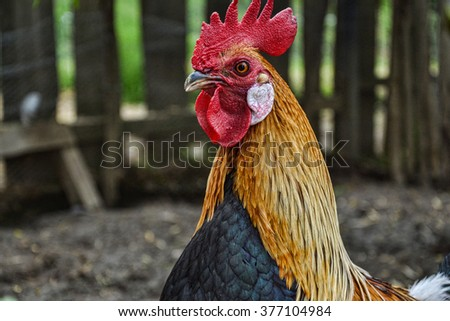 Rooster on farm, Gallus gallus domesticus, phoenix rooster, phoenix hen, Rooster backround - stock photo
