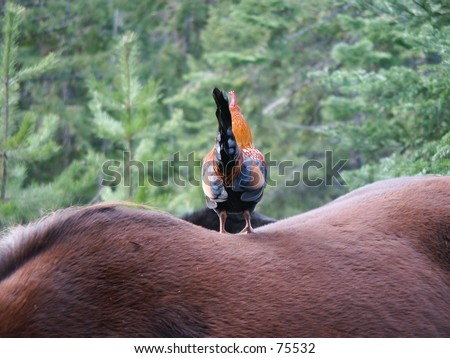 Rooster on Horseback - stock photo