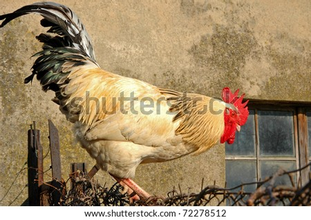 Rooster on the fence - stock photo