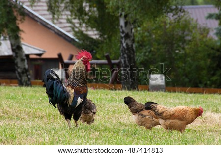 Rooster watching the environment and keeps his chickens