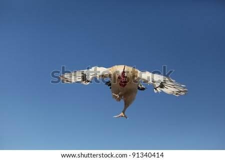 Roosters in flight - stock photo