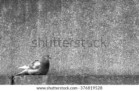 Roosting pigeon on a ledge