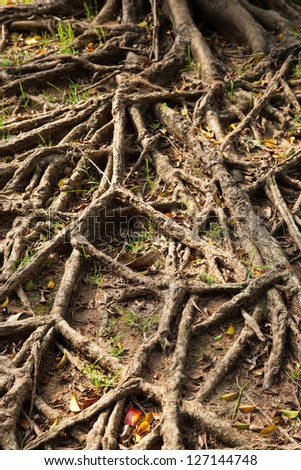 root of the tree is spread out on the ground to forage. - stock photo