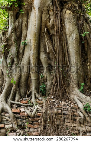 Root of tree covered old wall - stock photo