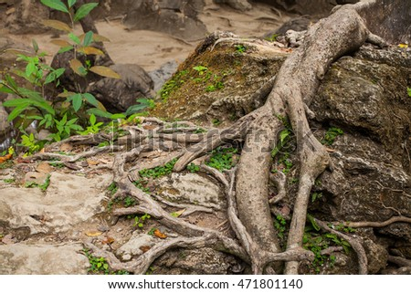 Root of tree in mangrove forest