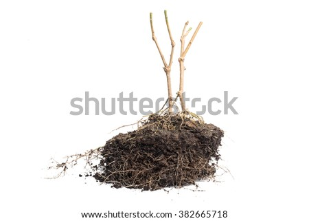 Root Plant with soil isolated on white background