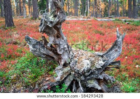 Roots of a Dead Tree in Autumn Taiga Forest, Finland, Urho Kekkonen National Park - stock photo