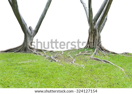 Roots of a tree isolated on white background. This has clipping path.  - stock photo