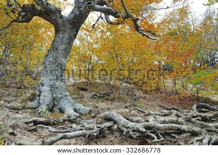 roots of an old tree in autumn forest - stock photo