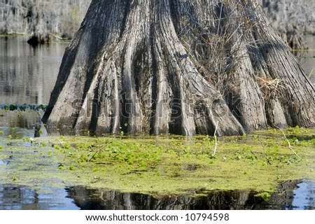 roots of cypress tree - stock photo