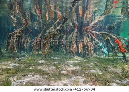 Roots of mangrove in shallow water reflected below water surface, natural scene, Caribbean sea - stock photo