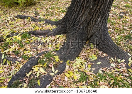 Roots of the large tree. - stock photo