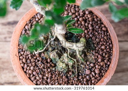 roots Small bonsai tree in the clay pots on wooden floor. - stock photo