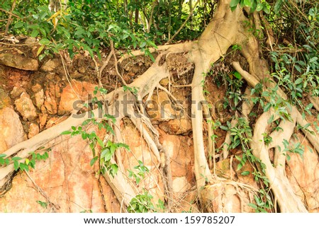 Roots tree on stone