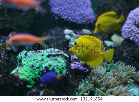 ropical yellow tang on a coral reef