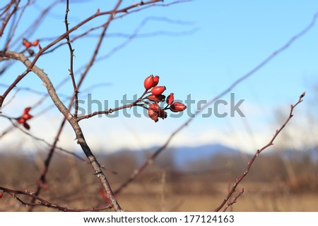Rosa canina, Dog rose bush in winter time