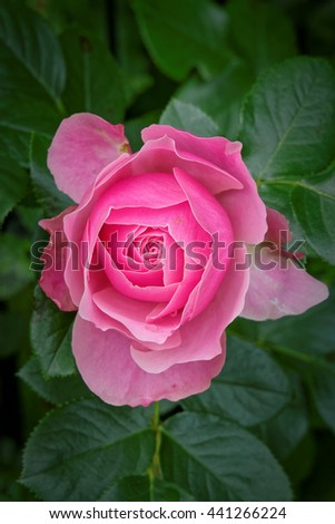 Rosaceae, blooming rose - stock photo