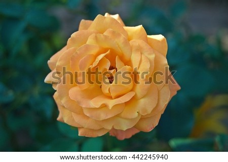 Rose;a woody perennial flowering plant , - stock photo