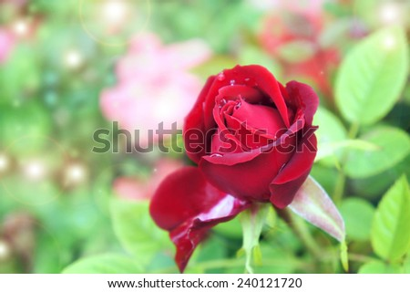 Rose after rain with water drops on leaves on natural background - stock photo